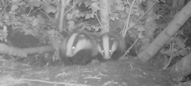 badger survey 2